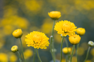 つま菊の写真素材 [FYI00168774]