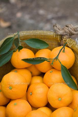 みかんの収穫の写真素材 [FYI00168794]