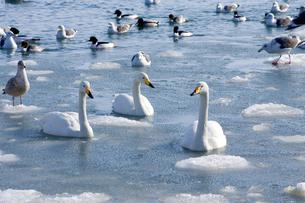 厳寒の風蓮湖の素材 [FYI00168810]