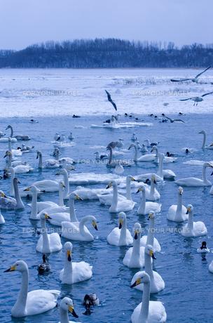 厳寒の風蓮湖の素材 [FYI00168816]