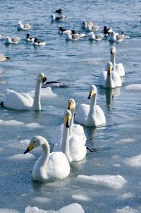 白鳥の行進の素材 [FYI00168817]
