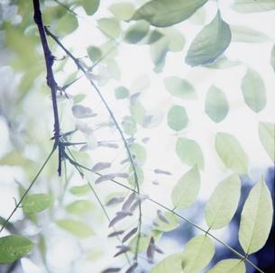 蕾と木漏れ日の写真素材 [FYI00168980]