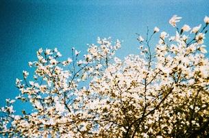 こぶしの花と青空の写真素材 [FYI00168997]