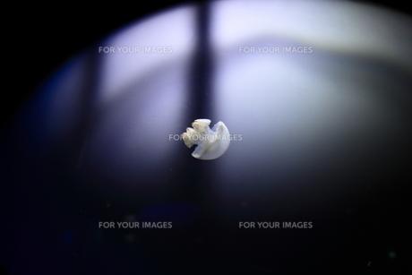 静かな時を漂うクラゲの写真素材 [FYI00169385]