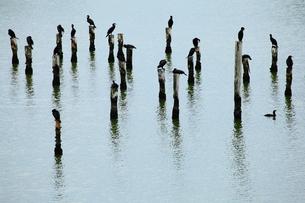 川鵜たちの休息の写真素材 [FYI00169386]