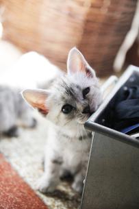 トスカーナの子猫(シルバー)の素材 [FYI00169469]