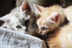 トスカーナの子猫(シルバーと茶トラ)の素材 [FYI00169474]