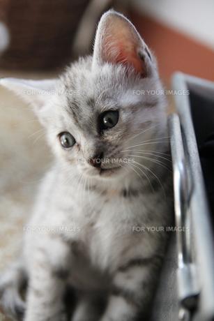 トスカーナの子猫(シルバー)の素材 [FYI00169480]
