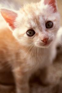 トスカーナの子猫(茶トラ)の素材 [FYI00169482]
