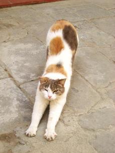 トスカーナ猫のノビの素材 [FYI00169505]