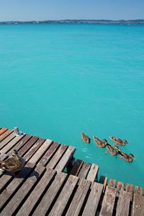 鴨の家族たちinガルダ湖の素材 [FYI00169540]