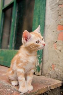 キャンティの子ネコの素材 [FYI00169543]