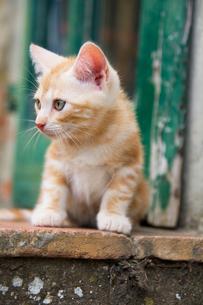 キャンティの子ネコの素材 [FYI00169544]