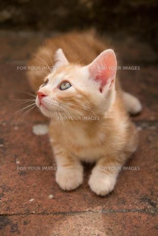 キャンティの子ネコの素材 [FYI00169545]