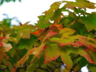 秋の訪れ 赤とんぼ2の写真素材 [FYI00169604]