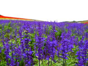 天に向かって咲く青のサルビア その3の写真素材 [FYI00169622]