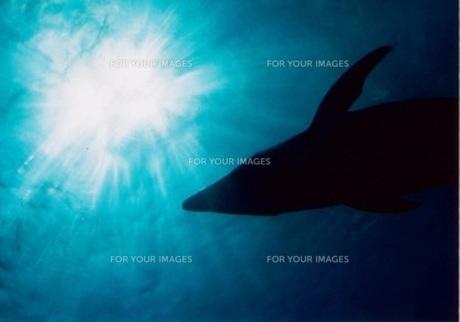 水中のイルカの写真素材 [FYI00169634]