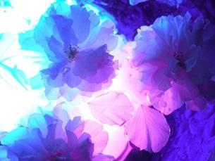 sakuraの写真素材 [FYI00169652]