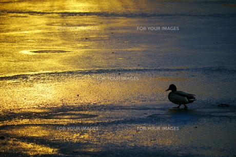黄昏を歩く鴨の写真素材 [FYI00169661]