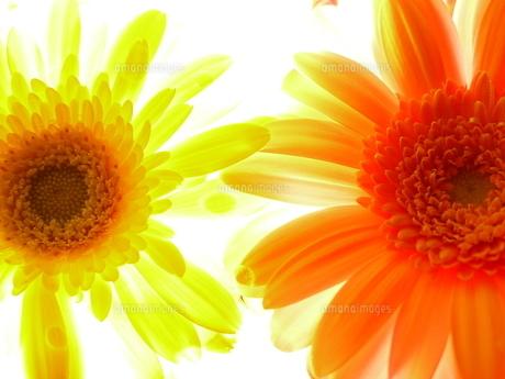 黄色とオレンジ色のガーベラの写真素材 [FYI00169667]