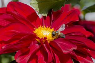 赤いダリアと蜂の写真素材 [FYI00169668]