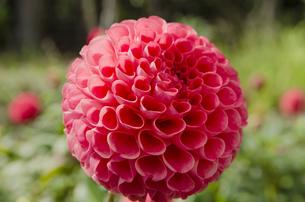 ポンポンダリアのハート型の花びらの写真素材 [FYI00169678]