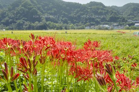 土手に咲く彼岸花の写真素材 [FYI00169685]