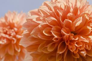 オレンジ色のダリア・クライズチョイスの写真素材 [FYI00169698]