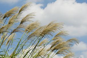 風になびくススキの写真素材 [FYI00169702]