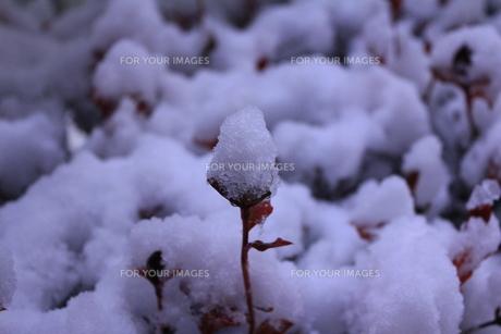 小さな命 in 雪空の写真素材 [FYI00169735]