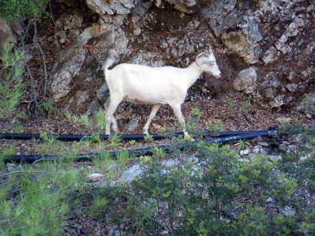 ギリシャ・ロードス島のヤギの写真素材 [FYI00169815]