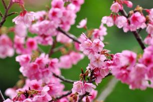 桜 日本一早咲きの寒緋さくらの素材 [FYI00169841]