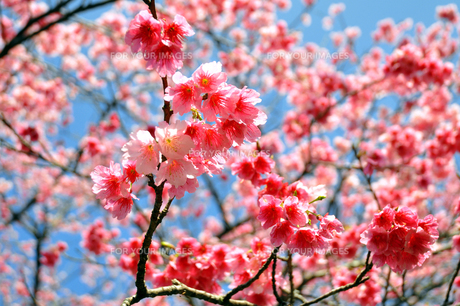 桜 日本一早咲きのさくらの素材 [FYI00169843]