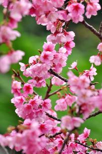 桜 日本一早咲きのさくらの写真素材 [FYI00169844]