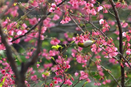 メジロと桜の素材 [FYI00169847]