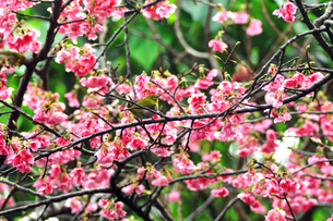 日本一早咲きの寒ひ桜の素材 [FYI00169853]