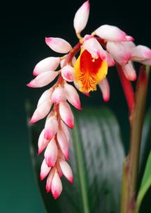 植物 月桃(ゲットウ)の花 の素材 [FYI00169854]
