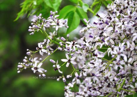 花 センダン木の素材 [FYI00169856]