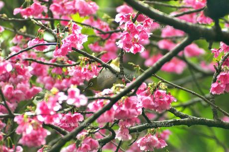 メジロと桜の素材 [FYI00169858]