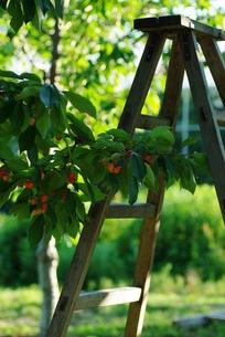 サクランボの収穫の写真素材 [FYI00169892]