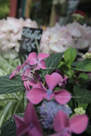 街角の花屋さんで咲く紫陽花の写真素材 [FYI00169894]