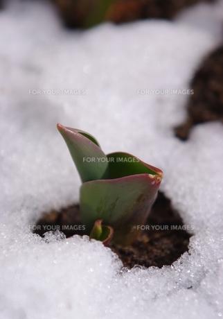 雪解けのチューリップの写真素材 [FYI00169915]