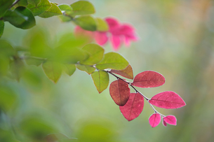 紅葉始める葉の素材 [FYI00169940]