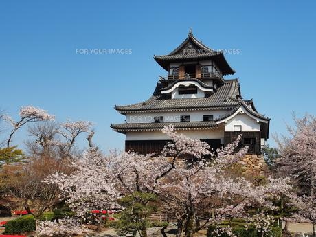 桜咲く犬山城の素材 [FYI00169971]