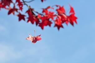 アメリカフウの紅葉の写真素材 [FYI00170030]