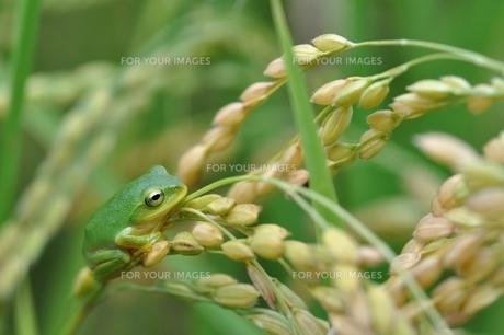 稲穂の上で休むカエルの写真素材 [FYI00170032]