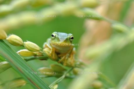 稲穂とカエルの写真素材 [FYI00170067]