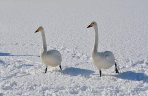 白鳥の雪上散歩の素材 [FYI00170079]