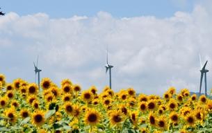 風車と向日葵畑の素材 [FYI00170089]