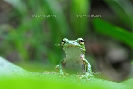 カエルの写真素材 [FYI00170120]